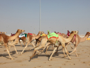 Al ShahaniyaWatching a camel race is possibly one of the most authentic experiences you'll get around here and even if you don't care about the Gram, this isn't something you should miss.