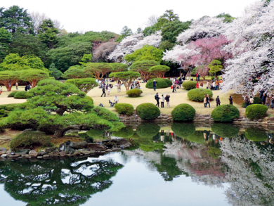 Spotting cheery blossom in Japan