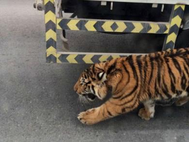 Tiger stops traffic in Doha
